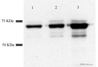 Western blot - Anti-GST antibody (ab19256)