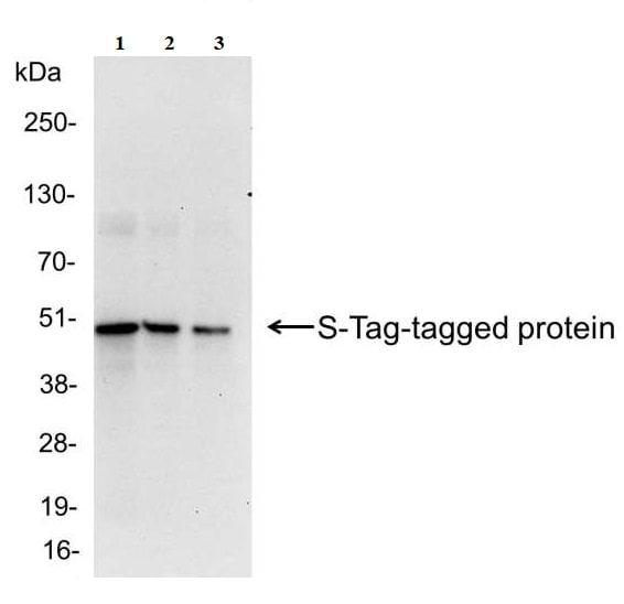 Western blot - Anti-S tag antibody (ab19321)