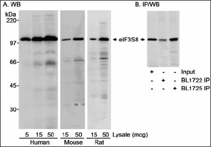 Western blot - Anti-EIF3C antibody (ab19360)