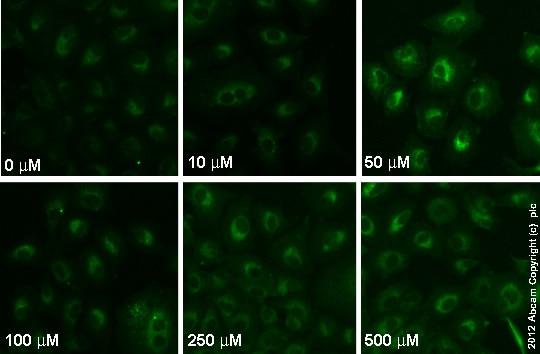 Immunocytochemistry/ Immunofluorescence - Anti-Glutathione antibody [D8] (ab19534)