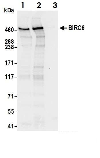 Immunoprecipitation - Anti-BIRC6/APOLLON antibody (ab19609)