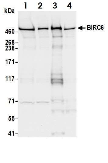 Western blot - Anti-BIRC6/APOLLON antibody (ab19609)