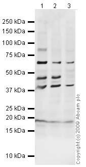 Western blot - Anti-BNP antibody (ab19645)