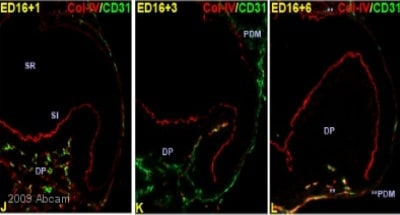 Immunohistochemistry (Frozen sections) - Anti-Collagen IV antibody (ab19808)
