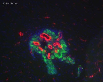 Immunocytochemistry/ Immunofluorescence - Anti-Collagen IV antibody (ab19808)