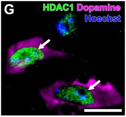 Immunohistochemistry - Free Floating - Anti-HDAC1 antibody (ab19845)