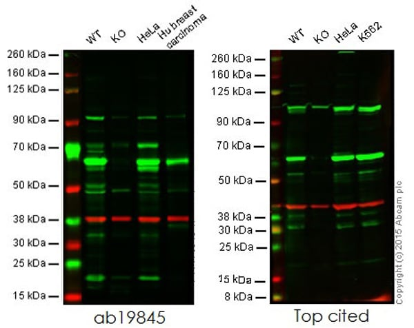 Western blot - Anti-HDAC1 antibody (ab19845)