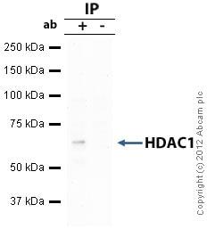 Immunoprecipitation - Anti-HDAC1 antibody (ab19845)