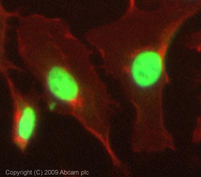 Immunocytochemistry/ Immunofluorescence - Anti-HDAC1 antibody (ab19845)