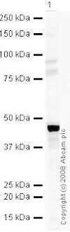 Western blot - Anti-MEIS1 antibody (ab19867)
