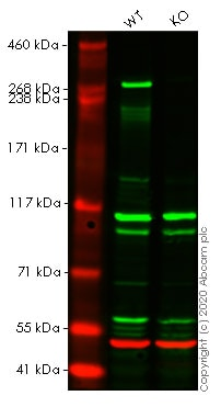 Western blot - Anti-USP9x antibody (ab19879)
