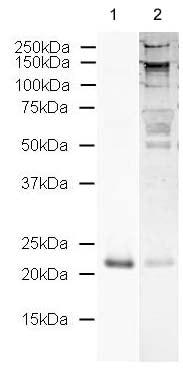 Western blot - Anti-Sonic Hedgehog antibody (ab19897)