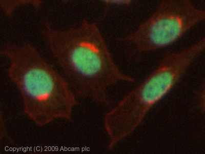 Immunocytochemistry/ Immunofluorescence - Anti-Dnmt1 antibody (ab19905)