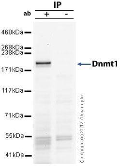 Immunoprecipitation - Anti-Dnmt1 antibody (ab19905)
