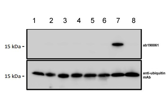 Western blot - Anti-Poly-ubiquitin  (linkage-specific K48) antibody [1001C] (ab190061)