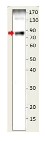 Western blot - Anti-CD19 antibody (ab190063)