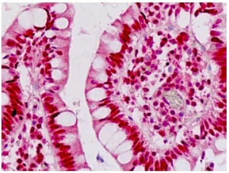 Immunohistochemistry (Formalin/PFA-fixed paraffin-embedded sections) - Anti-EN1 / Engrailed 1 antibody - N-terminal (ab190080)