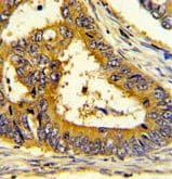 Immunohistochemistry (Formalin/PFA-fixed paraffin-embedded sections) - Anti-SCAP antibody (ab190103)
