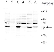 Western blot - Anti-ZNF385 antibody (ab190111)