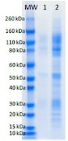 SDS-PAGE - Recombinant AMARV GP protein (His tag) (ab190126)