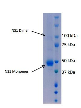 SDS-PAGE - Recombinant West Nile Virus NS1 protein (ab190131)