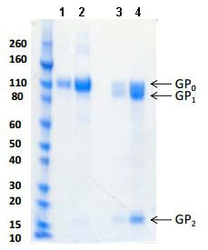 SDS-PAGE - Recombinant REBOV GP protein (ab190132)
