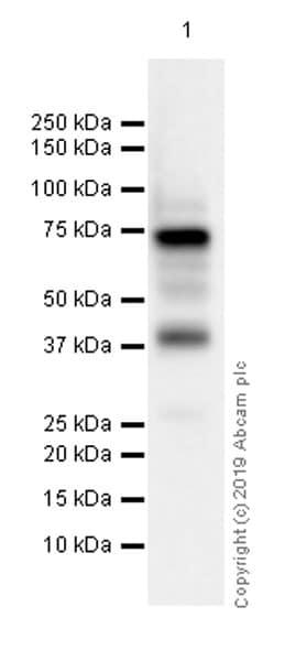Western blot - Anti-Syk antibody [EP573Y] - BSA and Azide free (ab190176)