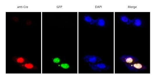 Immunocytochemistry/ Immunofluorescence - Anti-Cre recombinase antibody (ab190177)