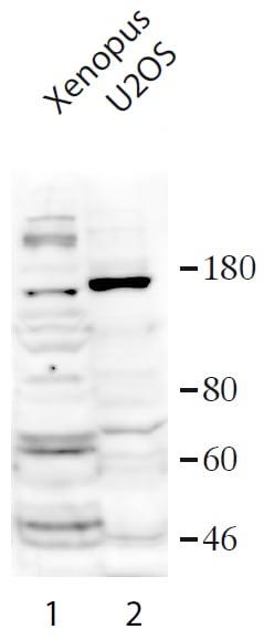Western blot - Anti-USP37 antibody (ab190184)