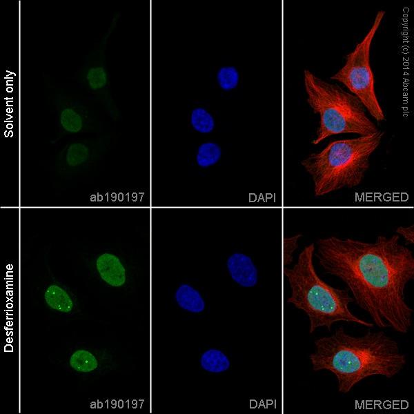 Immunocytochemistry/ Immunofluorescence - Anti-HIF-1 alpha antibody [EP1215Y] (Alexa Fluor® 488) (ab190197)