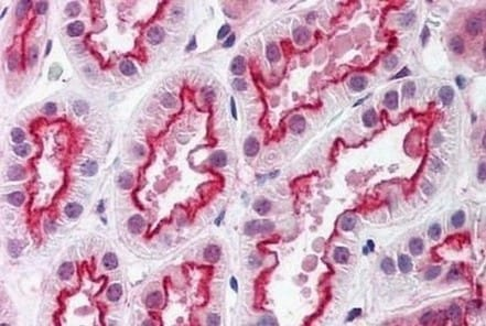Immunohistochemistry (Formalin/PFA-fixed paraffin-embedded sections) - Anti-RAI2 antibody - C-terminal (ab190229)