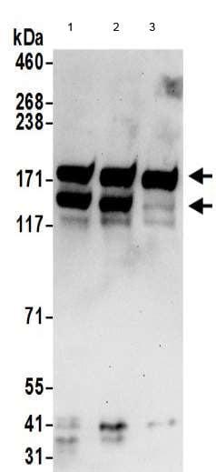Western blot - Anti-Kinectin 1 antibody (ab190271)