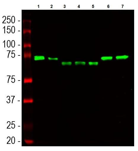 Western blot - Anti-UBQLN2 antibody [6H9] (ab190283)