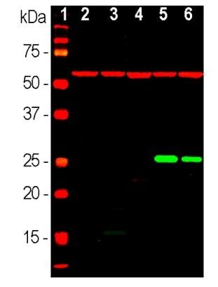 Western blot - Anti-Hsp27 antibody [6H11] (ab190314)
