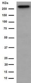 Western blot - Anti-PRPF8/Prp8 antibody [EPR15228] (ab190347)