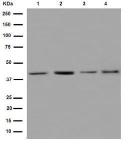 Western blot - Anti-hnRNP G antibody [EPR16038] (ab190352)