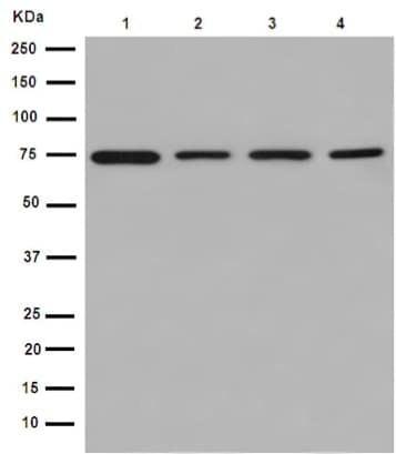 Western blot - Anti-ERp72 antibody [EPR14825] - C-terminal (ab190354)