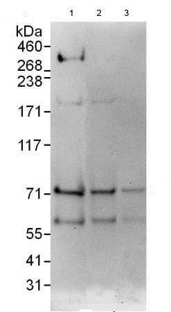 Western blot - Anti-MDMX/MDM4 antibody (ab190364)