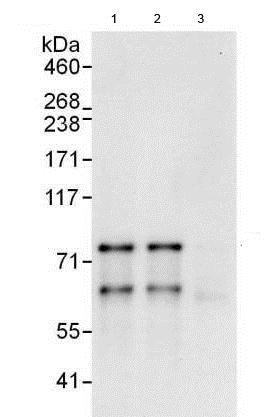 Immunoprecipitation - Anti-MDMX/MDM4 antibody (ab190364)