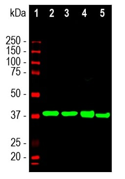 Western blot - Anti-Aldolase C antibody [4A9] - N-terminal (ab190368)