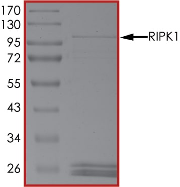 SDS-PAGE - Recombinant human RIP protein (Active) (ab190411)