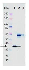 Western blot - Anti-alpha-hemolysin antibody [8B7] - N-terminal (ab190467)