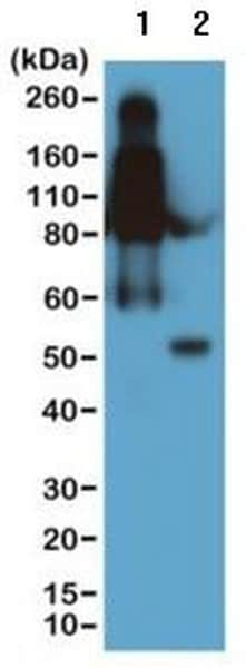 Western blot - Anti-Mouse IgG2b antibody [RM108] (ab190482)