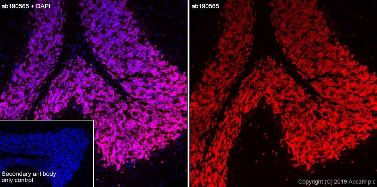Immunohistochemistry (Frozen sections) - Alexa Fluor® 647 Anti-NeuN antibody [EPR12763] - Neuronal Marker (ab190565)