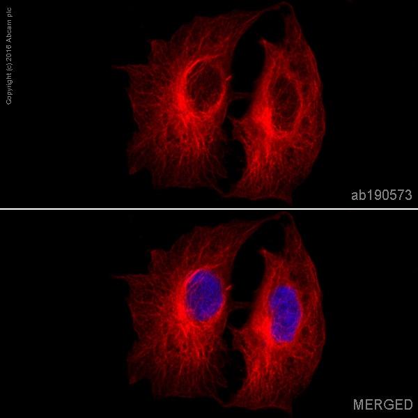Anti-alpha Tubulin antibody [EP1332Y] - Microtubule Marker (Alexa Fluor®  647)