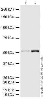 Western blot - HRP Anti-beta III Tubulin antibody [EP1569Y] (ab190574)