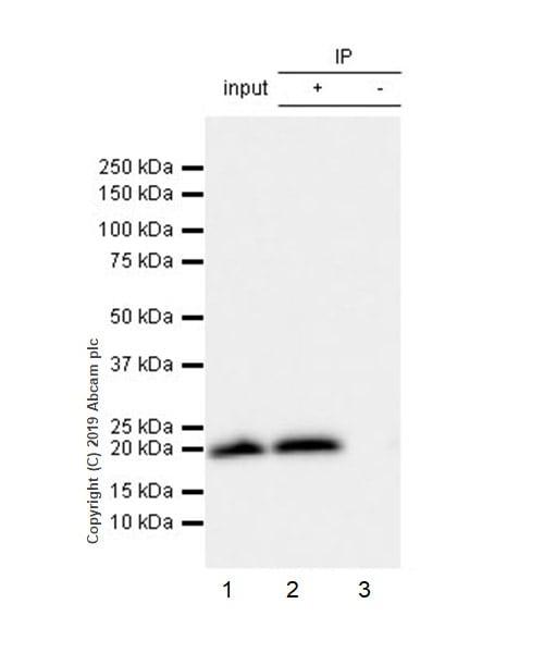 Immunoprecipitation - Anti-Histone H3 (mutated K27 M) antibody [EPR18340] (ab190631)