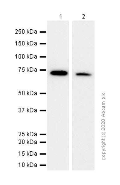 Western blot - Anti-GCLC antibody [EP13475] (ab190685)