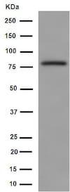 Western blot - Anti-FBXO40 antibody [EPR15005] (ab190688)