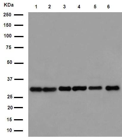 Western blot - Anti-EXOSC3 antibody [EPR14841] - C-terminal (ab190689)